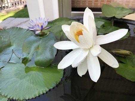 Lotus, White, Pots