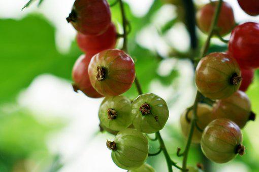 Red Currant, Fruit, Blackcurrant, Red, Red Fruit, Berry