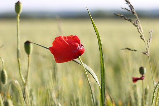 Red Poppy In Wheat Field, Plant, Agriculture, Green