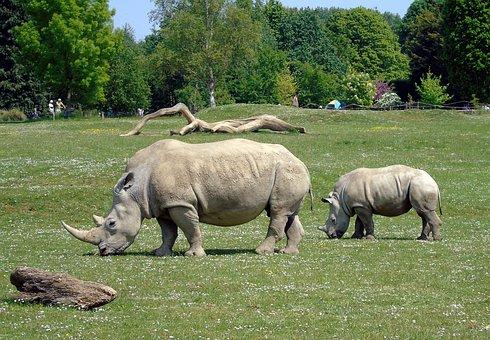 Rhino, Animal, Zoo, Wildlife, African, Safari, Mammal