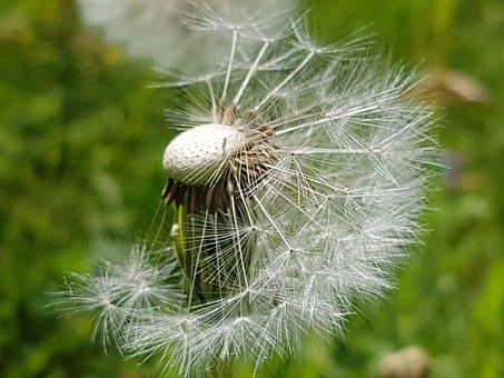 Dandelion, Summer, Seeds, Flowers, Bloom, Fluff, Lint