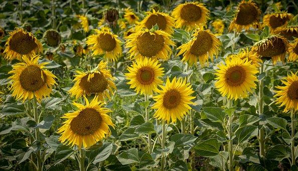 Summer, Sunflower, Yellow, Nature, Flower, Sun, Sunny