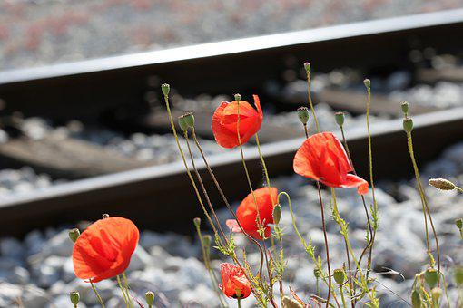 Red Poppy Near Railway, Romantic, Lovely, Touching