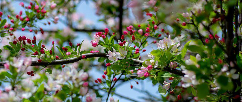 Spring, Blossom, Pink, Nature, Tree, Cherry, Bloom