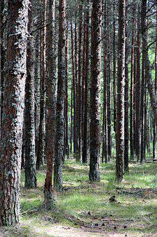 Forest, Trunks, Trees, Tree Trunks, Coniferous Tree