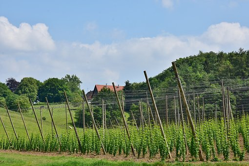 Hops, Cultivation, Wachsbau, Bavaria, Hallertau