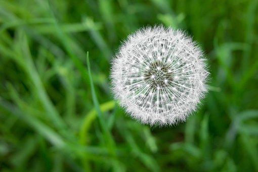 Dandelion, White, Flower, Pointed Flower, Meadow