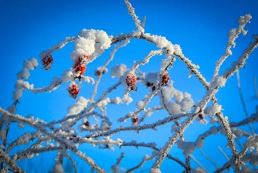 Winter, Frost, Berries, Bush, Nature, Cold, Snow, White