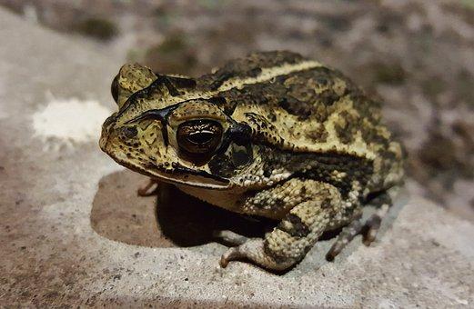 Toad, Gulf Coast Toad, Croak, Croaking, Amphibian, Bufo