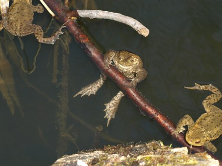 Common Toad, Bufo Bufo, Amphibian, Animal, Water, Pond