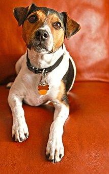 Dog, Jack Russel, Animal, Quadruped, Companion