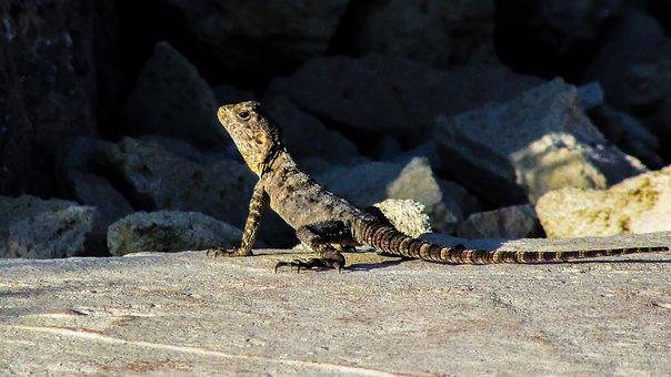 Lizard, Cyprus, Kurkutas, Reptile, Fauna, Animal