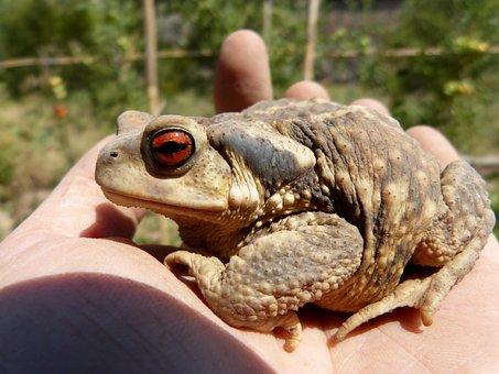 Toad, Bufo Bufo, Sky, Rough Skin, Batrachian, Hand