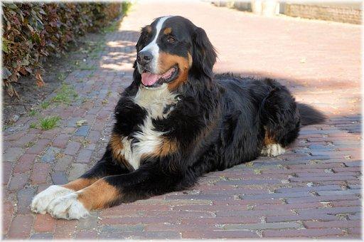 Bernese Mountain Dog, Pedigree, Pet, Dog, Canine, Puppy