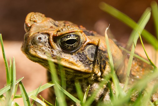 Cane Toad, Toad, Bufo Marinus, Amphibian, Pest, Feral