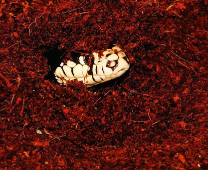 Snake, Snakehead, California Getula, Chain Natter