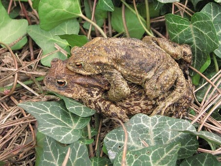 Common Toad, European Toad, Breeding, Couple, Amplexus