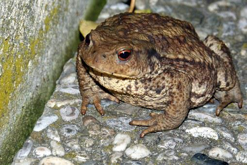Toad, Common Toad, Warts, Bufo Bufo