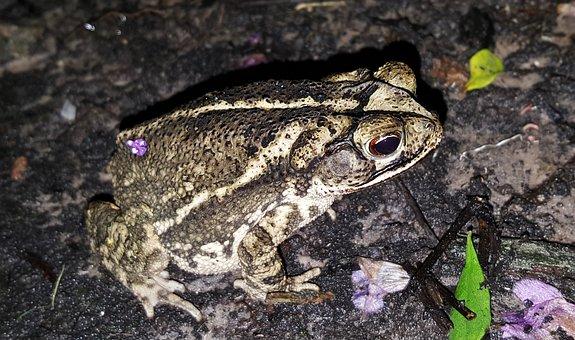 Toad, Gulf Coast Toad, Amphibian, Croak, Croaking, Bufo