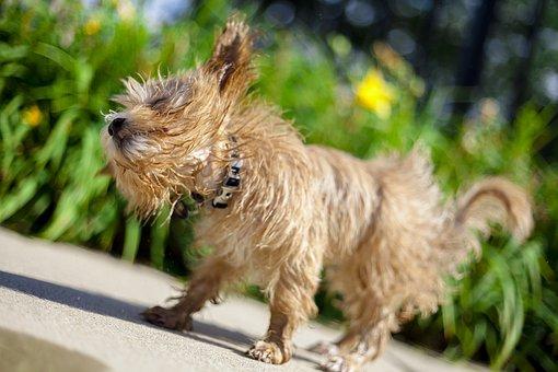 Maltipoo, Shake, Dog, Pool, Hot, Animal, Water, Canine