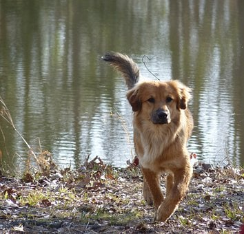 Dog, Canine, Pet, Mutt, Lab, Domestic, Doggy