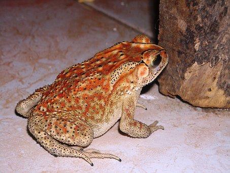 Frog, Duttaphrynus Melanostictus, Buduk