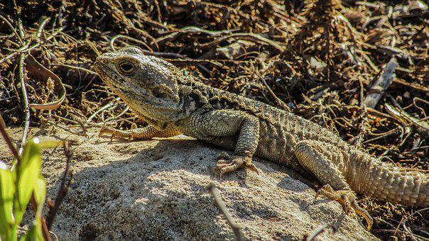 Cyprus, Lizard, Kurkutas, Reptile, Camouflage, Fauna