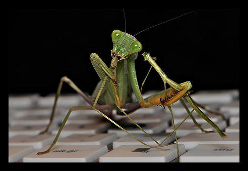 Sphodromantis Lineola, Praying Mantis, Fishing Locust