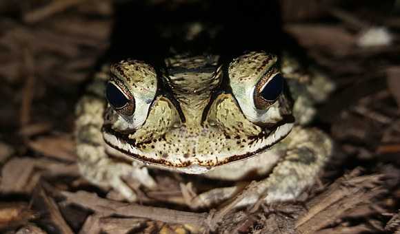 Toad, Gulf Coast Toad, Amphibian, Creature, Croak