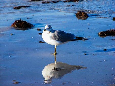 Ring-billed Gull, Sea, Gulls, Bird, Feather, Flight