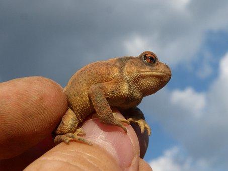 Toad, Sapito, Batrachian, Hand, Breeding, Bufo Bufo