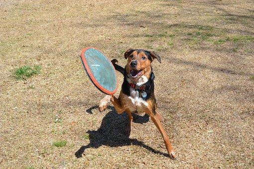 Dog, Frisbee, Fetch, Jump, Canine, Animal, Pet, Fun