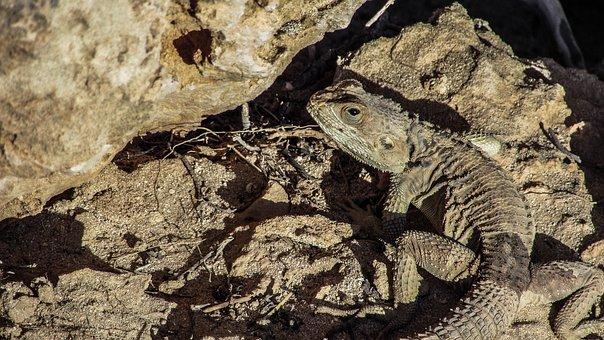 Cyprus, Lizard, Kurkutas, Reptile, Fauna, Animal