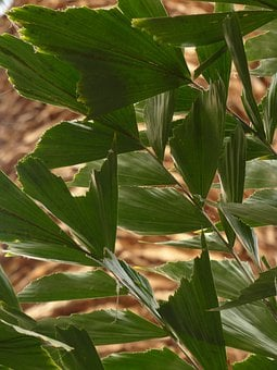 Leaves, Palm, Frayed, Irregular, Fishtail Palm