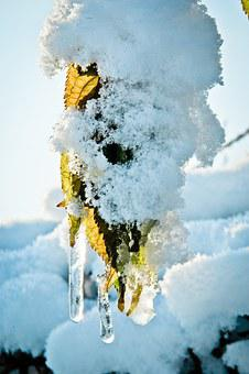 Icicle, Snow, Leaves, Winter, Cold, Snowy, Nature