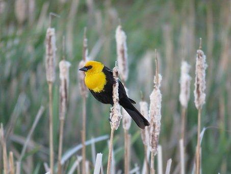 Male Yellow-headed Blackbird, Blackbird, Marsh Bird