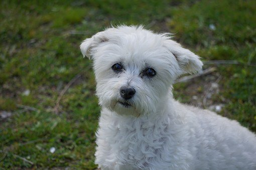 Dog, Mutt, Mixed Breed, White, Canine, Pet, Furry