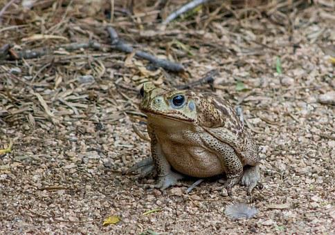 Cane Toad, Amphibian, Animal, Wildlife, Nature, Bufo
