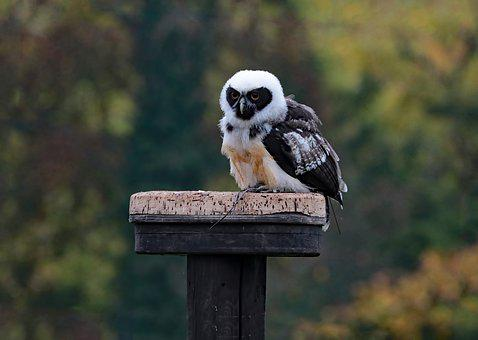 Spectacled Owl, Owl, Bird, Animal, Prey, Wildlife