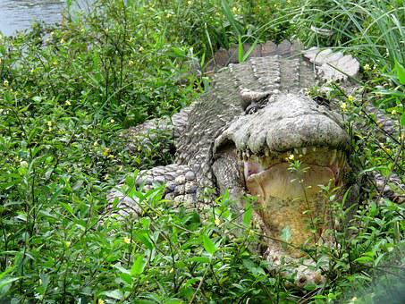 Crocodile, Gad, Cuba, Teeth, The Mouth Of The, Surprise