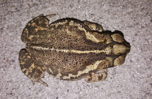 Toad, Gulf Coast Toad, Croak, Croaking, Amphibian, Bufo