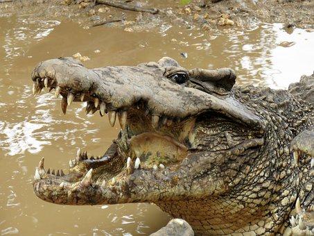Crocodile, Gad, Wetlands, Animals, Cuban Crocodile