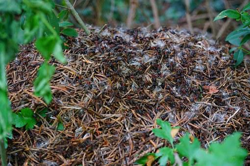 Forest Ant Hill, Wood Ants, Formica Polyctena, Ant