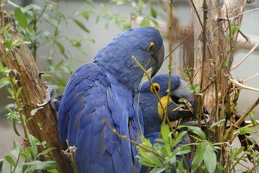 Ara, Wild Bird, Ara Militaris, South America