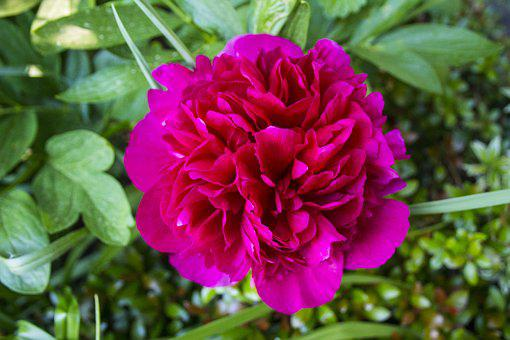 Baby Rose, Flowers, Double Flower, Full Bloom, Close