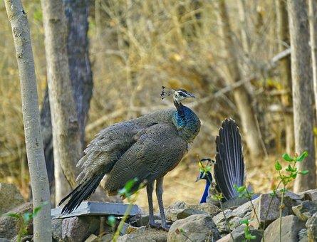 Peahens, Indian, Birds, Wildlife, Bharat, Banswara