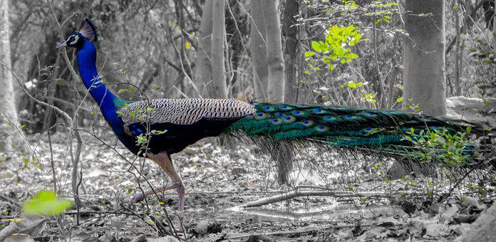 Peacock, Bird, Wild, Creative, Wing, White, Colorful