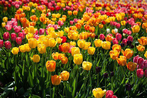 Tulips, Colorful, Flower, Spring, Nature, Blossom