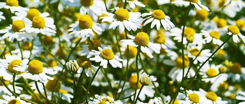Chamomile, Flowers, Blütenmeer, Cornfield, White