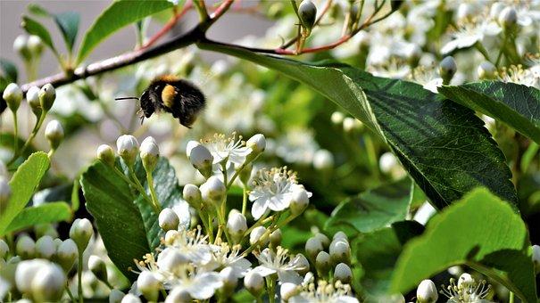Bumblebee, Bloom, Bug, Garden, Flower, Insects, Pollen